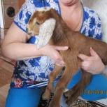 Нубийский козлик 87,5%, Новосибирск