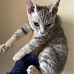 Отдаем кудрявого котёнка, Новосибирск