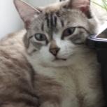Молодой голубоглазый кот, Новосибирск