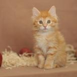 Курильский бобтейл котик, Новосибирск
