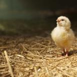 Цыплята бройлеры Иза Ф15, Новосибирск