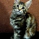Котенок породы Мейн-кун из питомника, Новосибирск