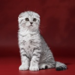 Шотландский вислоухий котенок Барсик Декстер, Новосибирск
