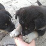 Отдадим щенков в добрые любящие руки!, Новосибирск