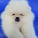 Пушистая снежинка щенок, Новосибирск