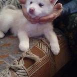 Продам щенков хаски, Новосибирск