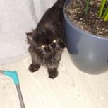 Найдена персидская кошка, Новосибирск