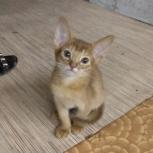 Абиссинские котятки, Новосибирск