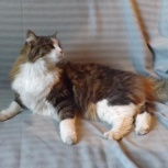 Огромный добрый котяра, Новосибирск