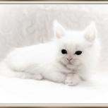 Шикарные котята мейн-куны из питомника, Новосибирск