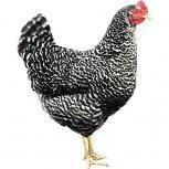 Цыплята Доминант, Новосибирск