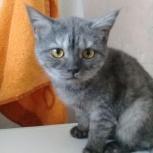Британская девочка, котенок, Новосибирск