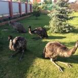 Продам семью страусов эму ( самец и самочка) возраст 2года 9 мес, Новосибирск