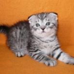 Шотландские котята, Новосибирск