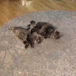 Передержка для кошек, Новосибирск