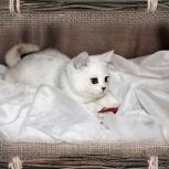 Серебристый затушёванный котик - шиншилла., Новосибирск
