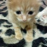 Отдам симпатичного сибирского рыжего котенка в добрые руки, Новосибирск