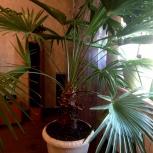 продам пальму, Новосибирск