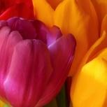 Крупные тюльпаны от производителя оптом, Новосибирск