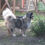 Собака кавказская  овчарка, Новосибирск