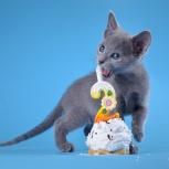 продаются котята породы русская голубая, Новосибирск