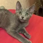 Продам котенка русской голубой породы, Новосибирск