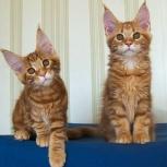 Солнечные рыжики котята мейн кун, Новосибирск