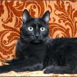 Добрый, ласковый и любознательный кот Семен ищет дом и любящих хозяев, Новосибирск