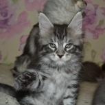 Красавец котик шоу класса., Новосибирск
