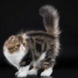 Персидский котик, Новосибирск