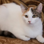 Кошечка Белка-тарахтелка в добрые руки, Новосибирск
