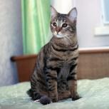 Полосатый молодой котик, 1 год. Кастрирован, Новосибирск