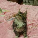 Котята мейн куны, Новосибирск