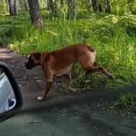 Найден пес, породы боксер, Новосибирск