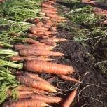 Продам картофель, морковь, свеклу, чеснок озимый, Новосибирск