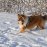 Пропала собака Колли, Новосибирск