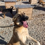 Леси-безумно ласковая собачка-улыбака, Новосибирск
