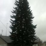 Продам елку(живую), Новосибирск