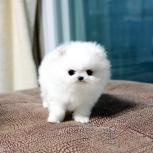 Примем в дар щенка белую девочку Шпиц, Новосибирск
