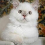 Британский длинношерстный котенок, Новосибирск