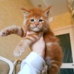 Котята мейн кун из питомника Wildcatstyle, Новосибирск