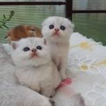 Шиншилловые котята, Новосибирск