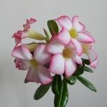 Продам взрослые цветущие адениумы, Новосибирск