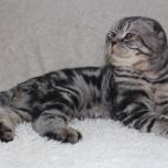 Вязка шотландского кота, Новосибирск