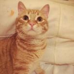 Рыжий котенок Артемка 1 год, Новосибирск