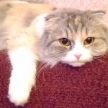 Кошечка скоттиш-фолд ищет хозяина, Новосибирск
