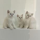 Британские котята шиншилла-пойнт, Новосибирск