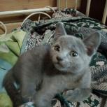 Продам русскую голубую котодевочку 3 месяца, Новосибирск