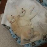 Продам котят шотландской породы, Новосибирск