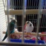 Пара попугаев с клеткой, Новосибирск